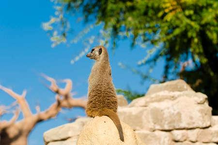 Alert meerkat (Suricata suricatta) on the lookout, Kalahari desert, South Africa Stock Photo