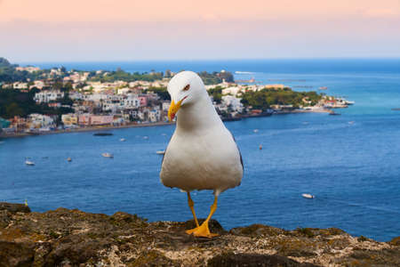 closeup of a seagull with the panorama of Ischia in the background Banque d'images - 120092847