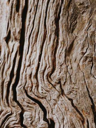 Olive tree trunk, texture of a bark Banque d'images