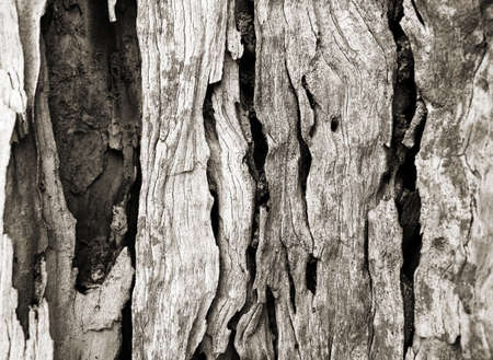 Bark texture of olive tree Banque d'images