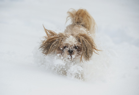 Dog shih tzu playing in snow. Stock Photo