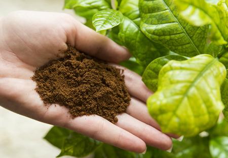 planta de cafe: Café en mano con la planta de café