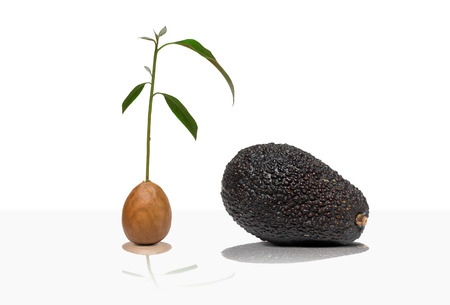 high section: Avocado, tree, seed