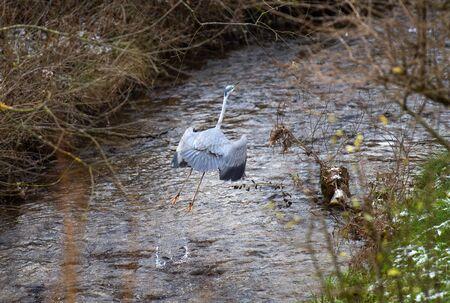 Heron bird walking through river