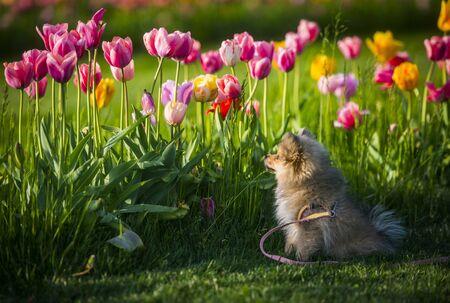 A little german spitz dog smelling tulips Standard-Bild