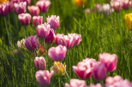 Tulip exhibition in Volcji potok Arboretum near Ljubljana, Slovenia
