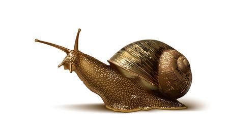 gastropod: illustration of a snail