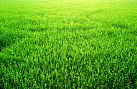 blades of grass: Green Grass rice field peddy farm background texture