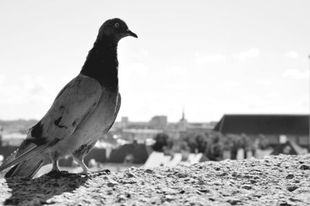 tallin: Black and white portrait pigeon on old city background Stock Photo