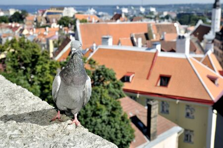 Portrait pigeon on old city background photo