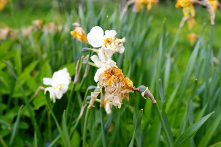 sapless: Sapless white flowers