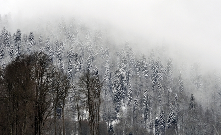 mood moody: Snowcovered trees at top of mountain are shrouded in mystical fog