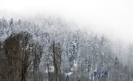 shrouded: Snowcovered trees at top of mountain are shrouded in mystical fog