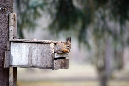 trough: The red squirrel gnaws nuts in a feeding trough Stock Photo