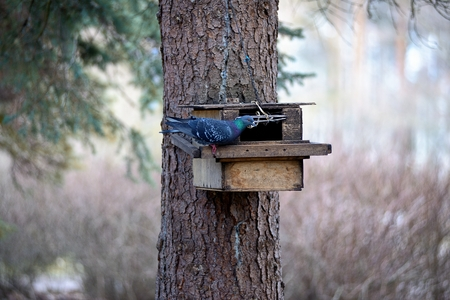 tries: The pigeon tries to get into a squirrels feeder Stock Photo