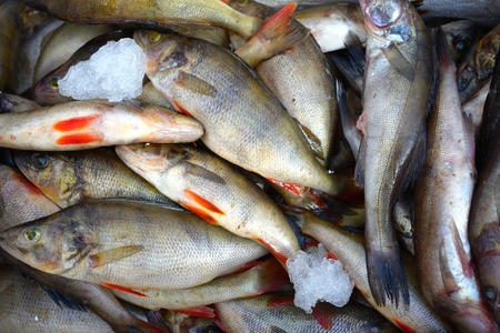 perch: Many fresh frozen perch fish in ice Stock Photo