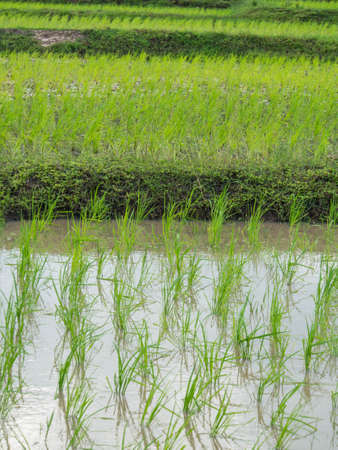 rice plant: The small rice plant is a source carbohydrates.