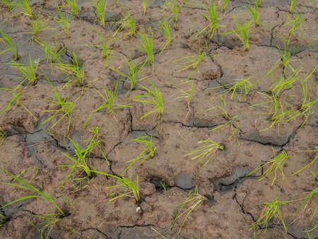 rice plant: The drought has been  impact a rice plant.