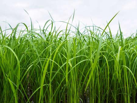 veiw: The rice plant of side veiw area.