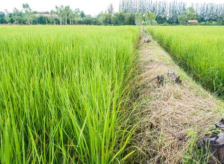 green ridge: The ridge and rice fram of green area