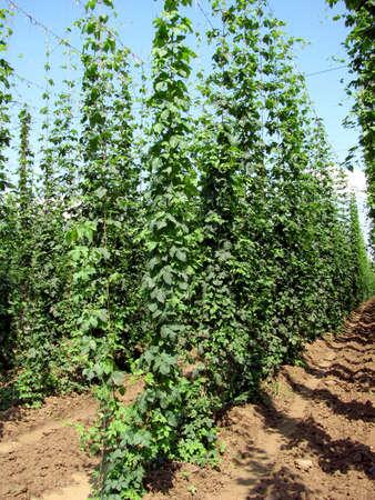 hopgarden: hop-garden _vertica_green_beer_nature