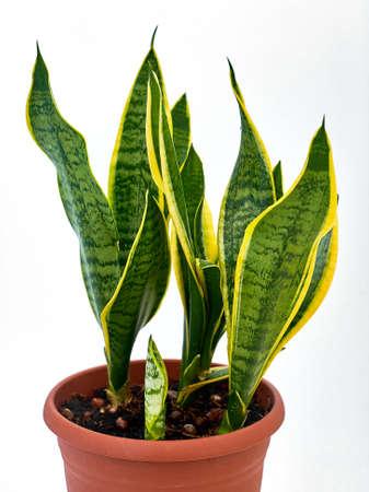variegated: Sansevieriya, agave in a pot