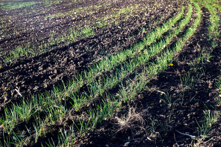 autumn, winter cereals, rye, wheat, barley, black soil, agriculture
