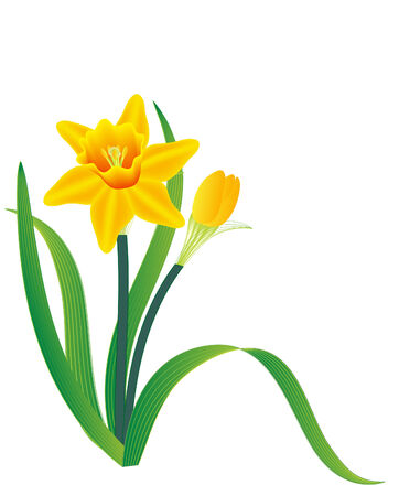 daffodils: vector  illustration of a plant of daffodil