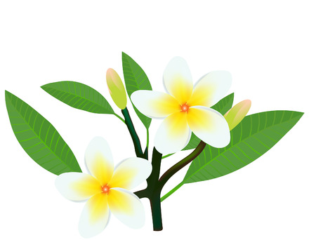 vector  illustration of a frangipani plumeria flowers and buds