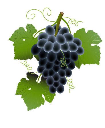 cluster: vector  illustration of a black grape fruits on vine