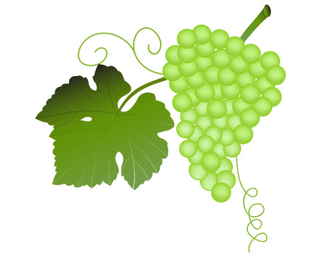 ripened: vector  illustration of a cluster of green grapes
