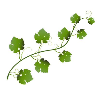 vector  illustration of green grape leaves on vine Çizim