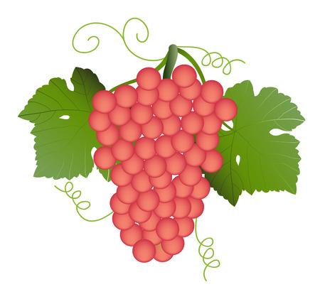 vitis: vector  illustration of a cluster of red grape fruits on vine