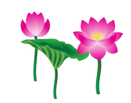 vector  illustration of lotus flower on white background