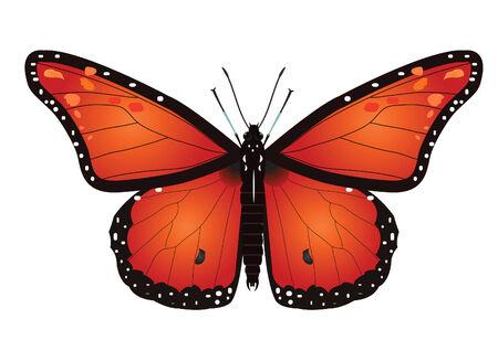 白で隔離される君主蝶のベクトル イラスト  イラスト・ベクター素材