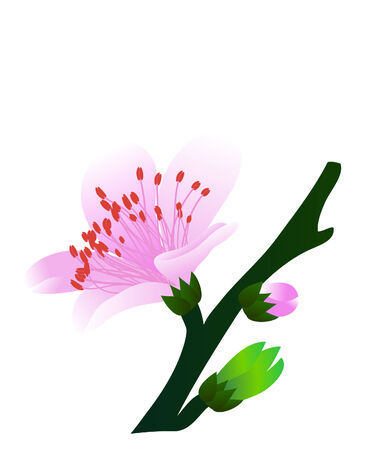 peach tree: vector  illustration of a single peach flower on branch