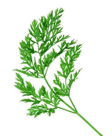 Hojas de zanahoria rama aislada en blanco Foto de archivo - 4244098