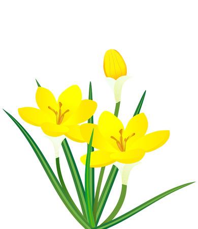 vector  illustration of yellow crocus flower plant