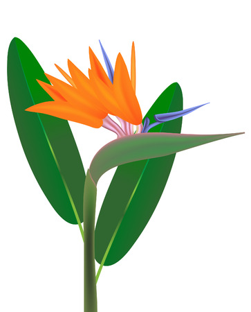 vector  illustration of bird of paradise flower and leaves