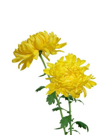 Big curly yellow chrysanthemum isolated on white  photo