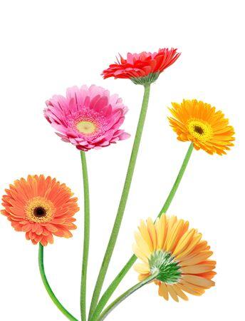 Beautiful gerbera daisy flowers isolated on white Imagens
