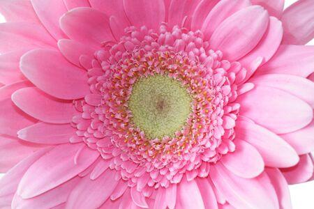 Close up of a pink gerbera flower head