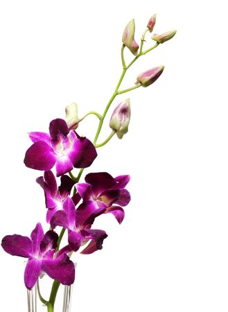 purple orchid: Elegant purple orchid flowers isolated on white