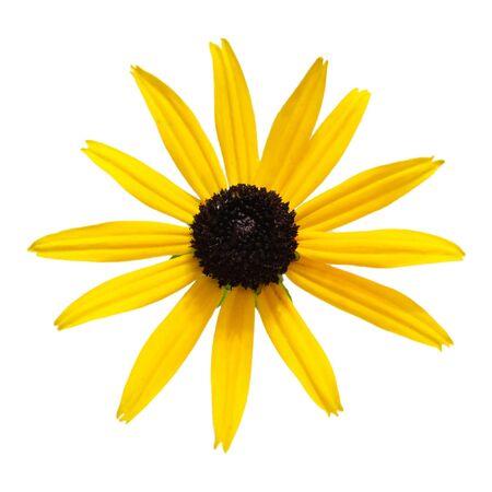 black: Fresh black-eyed-susan flower isolated on white