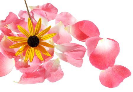 Black eyed susan flower on rose petals isolated on white photo