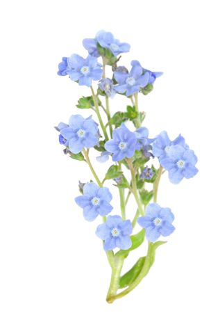 me: branch of forget me not flower isolated on white Stock Photo
