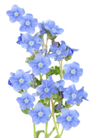 not to forget: Fresh forget me not flower isolated on white