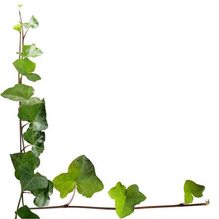 Fresh ivy leaves on vines isolated on white
