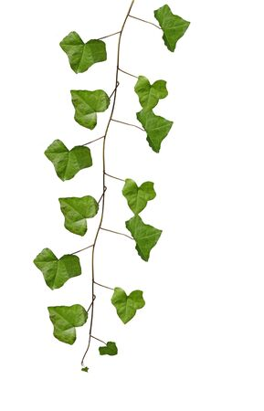 fragments: Ivy leaves on vine isolated on white