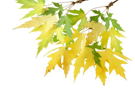 silver maple: Silver maple leaves changing color in the autumn